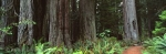 Panoramic photo of Redwood Trees in Redwood State Park, California, USA.