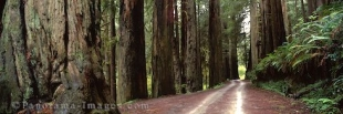 Panoramic photo of the wilderness road leading through Redwood State Park in California, USA.