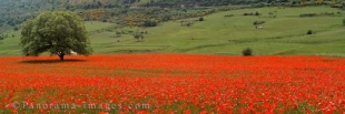 Panoramic photo of wild poppies blooming in a field with one single tree in Apulia, Italy, Europe.